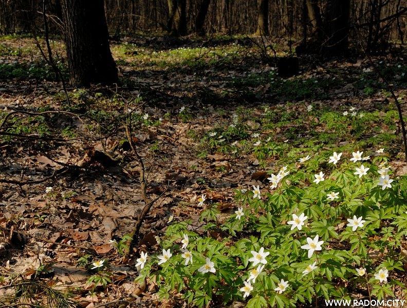 Radom. Wiosna w Lesie Kapturskim.