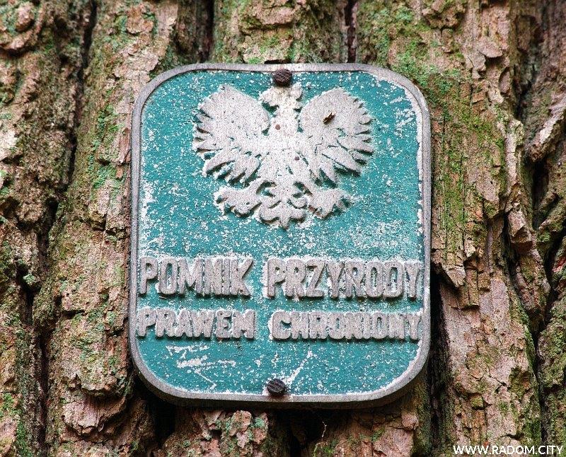 Radom. Dąb - pomnik przyrody w Lesie Kapturskim.