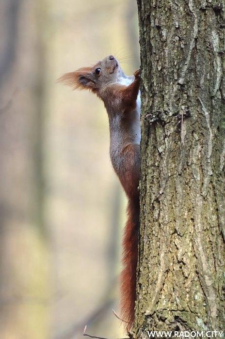 Radom. Wiewiórka w Lesie Kapturskim.