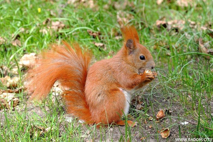 Radom. Wiewiórka w parku Kościuszki.