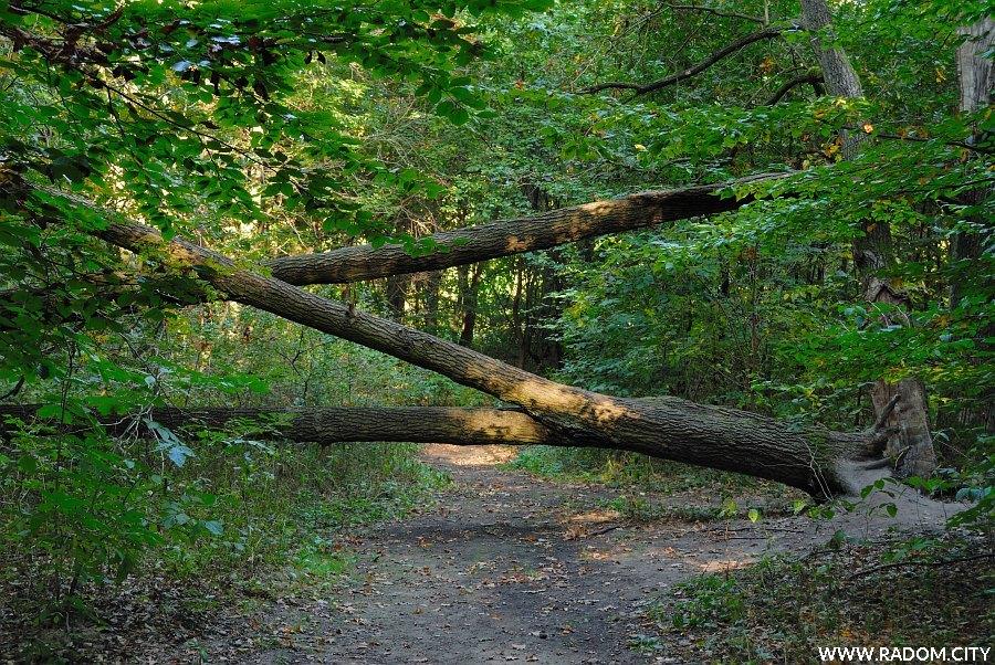 Radom. Zwalone drzewa w Lesie Kapturskim.