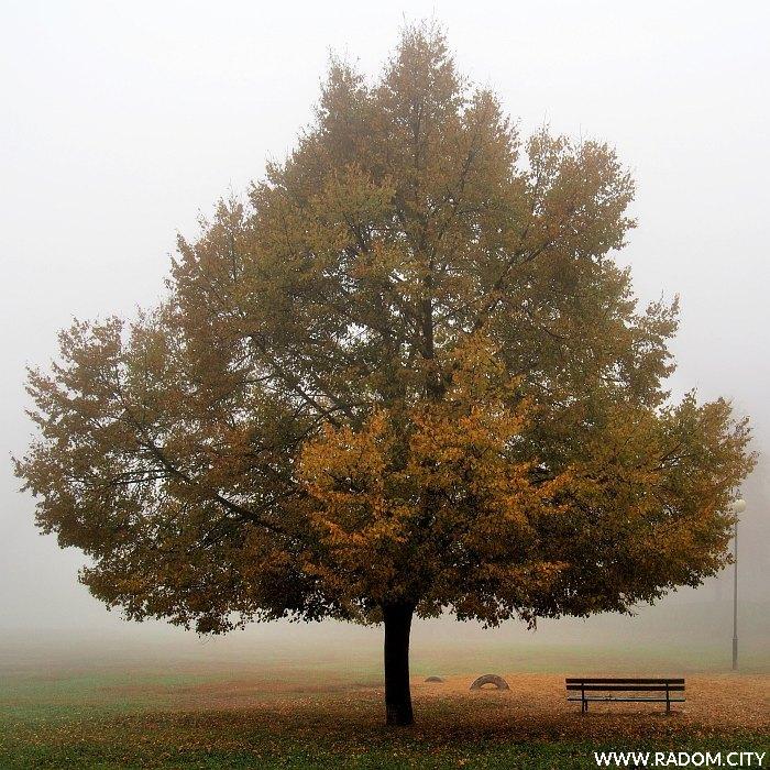 Radom. Drzewo w Leśniczówce.